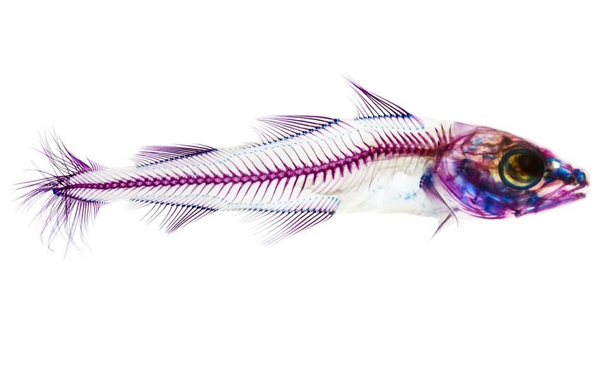 FISH_XRAY_LONMED_2796461k