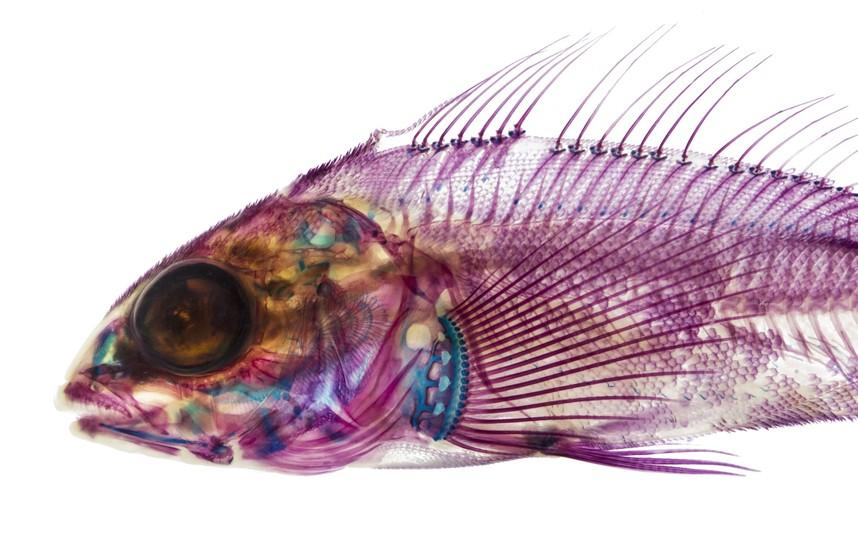 xray-fish-3_2796463k