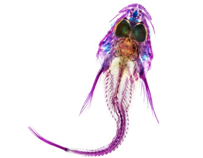 xray-fish-4_2796464k