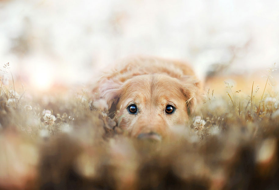 dog-photography-chuppy-golden-alternopolis-retriever-jessica-trinh-16