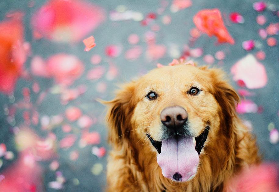 golden-retriever-chuppy-dog-alternopolis-photography-jessica-trinh-1