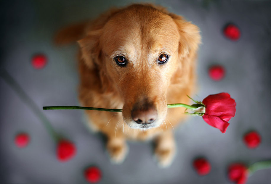 golden-retriever-chuppy-dog-photography-alternopolis-jessica-trinh-9