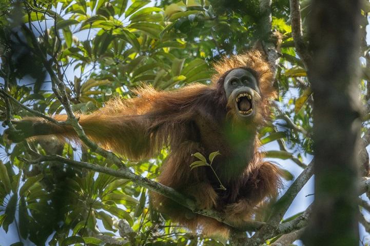 Sumatran Orangutan (Pongo abelii) Batang Toru Population  Unidentified unflanged adult male making threatening display towards, Togus, the resident adult flanged male  Batang Toru Forest Sumatran Orangutan Conservation Project North Sumatran Province  Indonesia
