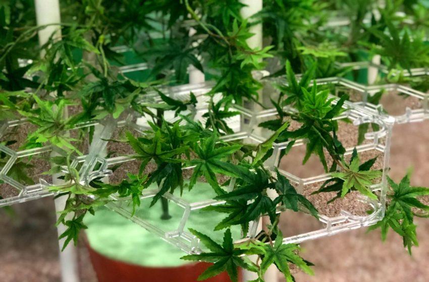 Honeycomber abre paso a la industria del cannabis en México